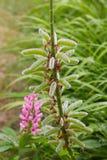 Lupinus, aire libre de la planta del altramuz en el prado foto de archivo libre de regalías