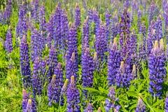 Lupinus, altramuz, campo del lupine con las flores p?rpuras y azules rosadas fotografía de archivo libre de regalías