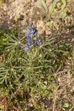 Lupinus angustifolius stock photo