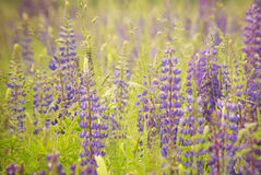 Lupinus background. Lupinus flowers at evening light stock images