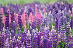 Lupinus, commonly known as lupin or lupine Royalty Free Stock Image