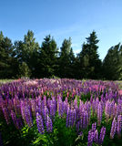 Lupinus, commonly known as lupin or lupine Royalty Free Stock Photography