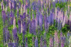 Lupinus Royalty Free Stock Photo
