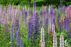 Lupinus Royalty Free Stock Images