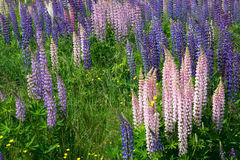 Lupinus Stock Photos