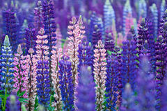 Lupinus, Commonly Known As Lupin Or Lupine Stock Images