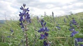 Lupinus conocido comúnmente como altramuz o lupine Campo de altramuces azules en Israel almacen de metraje de vídeo