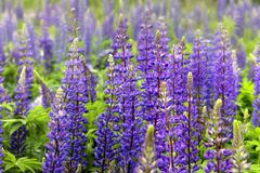 Lupinus field. With blue flowers stock image