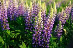 Free Lupinus Field With Pink Purple And Blue Flowers. Stock Images - 183557694
