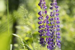 Lupinus growing outdoors. Lupinus, commonly known as lupin or lupine, is a genus of flowering plants in the legume family, Fabaceae royalty free stock photos