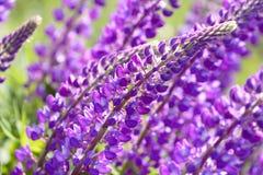 Lupinus, lupin, champ de loup avec les fleurs pourpres et bleues roses Photo stock