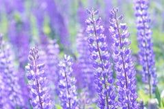 Lupinus, lupin, champ de loup avec les fleurs pourpres et bleues roses Photographie stock