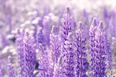 Lupinus, lupin, champ de loup avec les fleurs pourpres et bleues roses Photo libre de droits