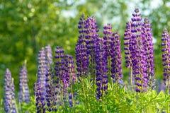 Lupinus, lupin, champ de loup avec les fleurs pourpres et bleues roses Images stock