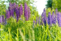 Lupinus, lupin, champ de loup avec les fleurs pourpres et bleues roses Photographie stock libre de droits