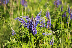 Lupinus, lupin, lupine field with blue flowers Stock Photography