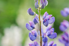 Lupinus, lupin, lupine field with pink purple Royalty Free Stock Photo