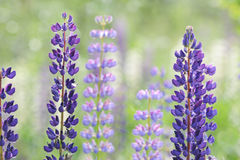 Lupinus, lupin, lupine field with pink purple Stock Photography