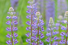 Lupinus, lupin, lupine field with pink purple Royalty Free Stock Image
