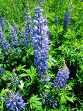 Lupinus, lupin, lupine field with pink purple. And blue flowers Stock Photos