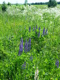 Lupinus, lupin, lupine field with pink purple. And blue flowers Stock Images