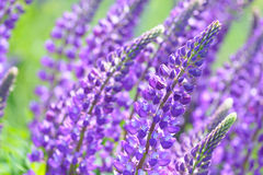Lupinus, lupin, lupine field with pink purple and blue flowers. Background Stock Photography