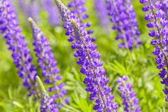 Lupinus, lupin, lupine field with pink purple and blue flowers. Background Stock Photos