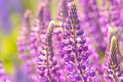 Lupinus, lupin, lupine field with pink purple and blue flowers. Background Stock Image