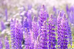 Lupinus, lupin, lupine field with pink purple and blue flowers. Background Royalty Free Stock Images