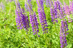 Lupinus, lupin, lupine field with pink purple and blue flowers Royalty Free Stock Images