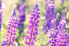 Lupinus, lupin, lupine field with pink purple and blue flowers Stock Photography