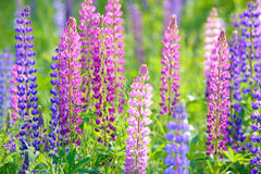Lupinus, lupin, lupine field with pink purple and blue flowers Royalty Free Stock Image