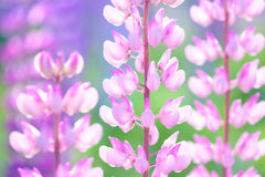 Lupinus, lupin, lupine field with pink purple and blue flowers Stock Image