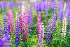 Lupinus, lupin, lupine field with pink purple and blue flowers. Background royalty free stock photos