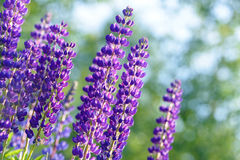 Lupinus, lupin, lupine field with pink purple and blue flowers Royalty Free Stock Photography