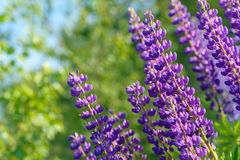 Lupinus, lupin, lupine field with pink purple and blue flowers Royalty Free Stock Photo