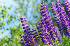 Lupinus, lupin, lupine field with pink purple and blue flowers Stock Photo