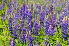 Lupinus, lupin, lupine field with pink purple and blue flowers. royalty free stock photography