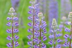 Free Lupinus, Lupin, Lupine Field With Pink Purple Royalty Free Stock Image - 75168066