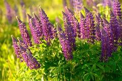 Lupinus, Lupine, Lupinefeld mit rosa purpurroten und blauen Blumen Lizenzfreie Stockfotografie