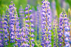 Lupinus, Lupine, Lupinefeld mit rosa purpurroten und blauen Blumen Stockfoto
