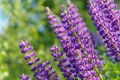 Lupinus, Lupine, Lupinefeld mit rosa purpurroten und blauen Blumen Lizenzfreie Stockbilder