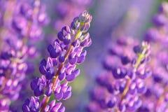 Lupinus, Lupine, Lupinefeld mit rosa purpurroten und blauen Blumen Stockfotografie
