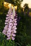 Lupinus, Lupine, Lupinefeld mit rosa purpurroten und blauen Blumen B?ndel Lupinessommer-Blumenhintergrund stockfotografie