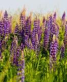 Lupinus, lupine, lupinegebied met roze purpere en blauwe bloemen Stock Fotografie