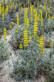 Lupinus luteus, comunly  known as annual yellow-lupin. Royalty Free Stock Image