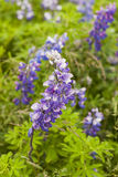 Lupinus nootkatensis Stock Photography