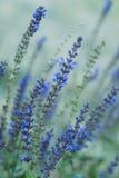 Lupinus perennis. Blue tall grass Stock Image