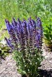 Lupinus Perennis Lunpine Purple Wildflower Lizenzfreies Stockfoto