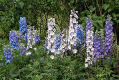 Lupinus perennis. lupines. lupins growing in a garden Royalty Free Stock Image